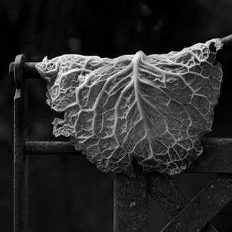 Leaf of Cabbage