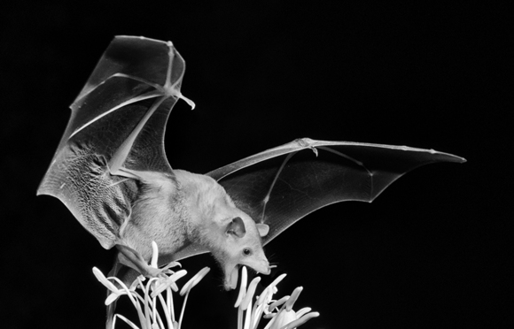 Nectar Bat in Arizona 3